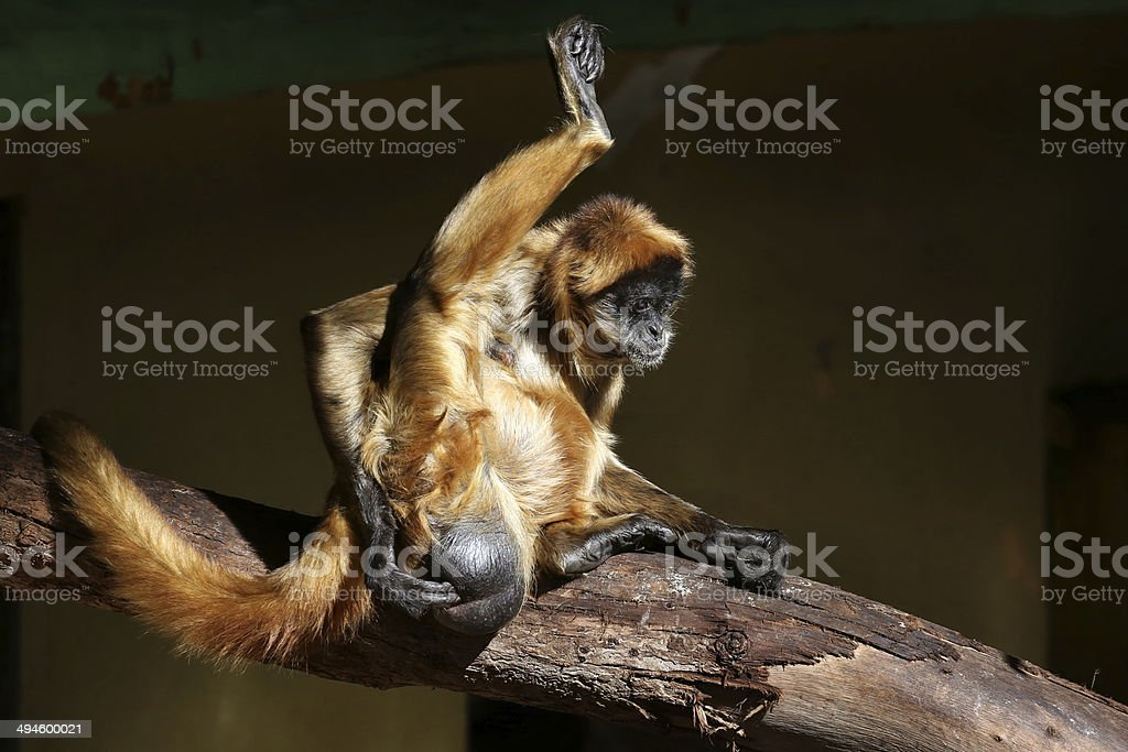 Spider Monkey scratches its scrotum with one leg in air stock photo