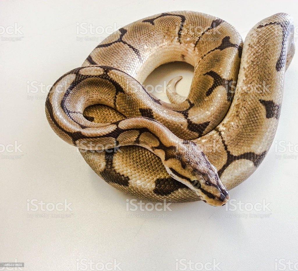 Spider morph Royal Python stock photo