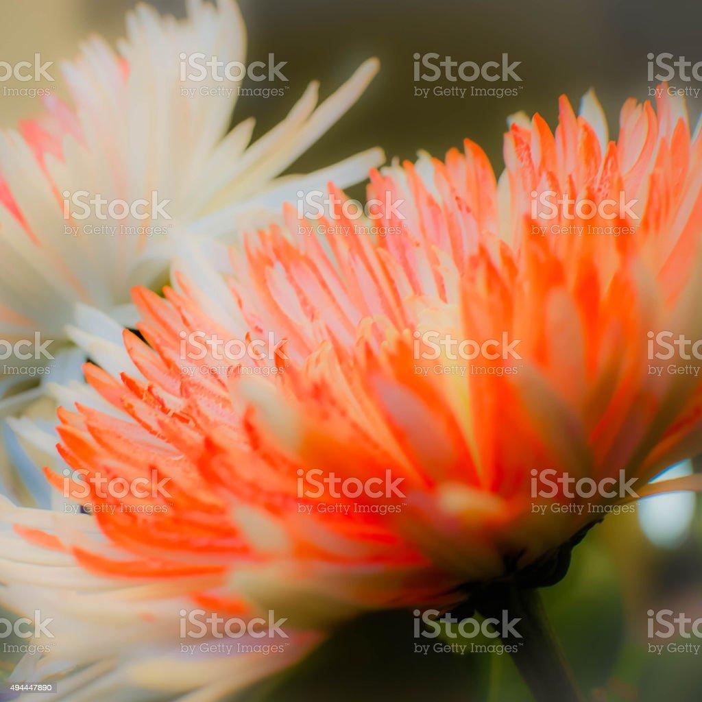 Spider Mum/ Chrysanthemum/ Flower- square stock photo