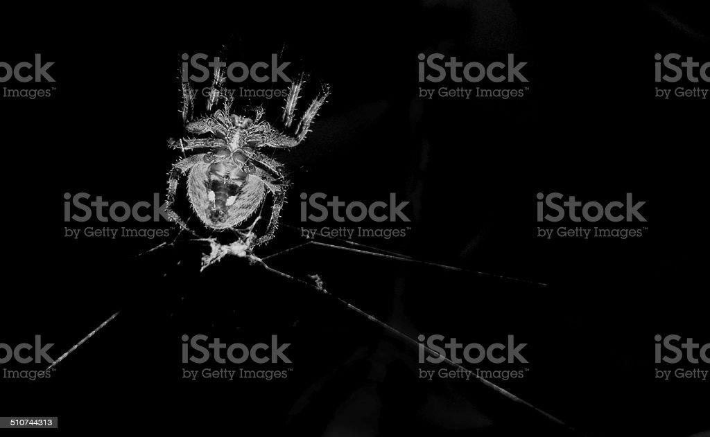 Araignée Neoscona theisi photo libre de droits