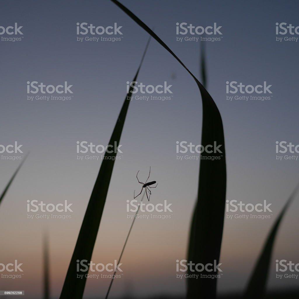 spider of twilight stock photo