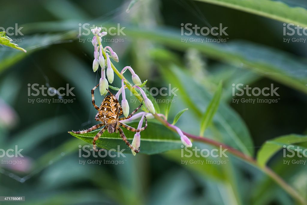 Spider on a flower royalty-free stock photo