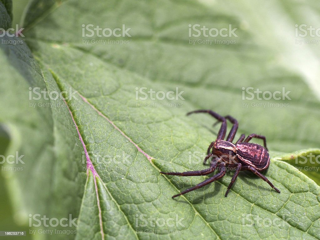Spider on a leaf royalty-free stock photo