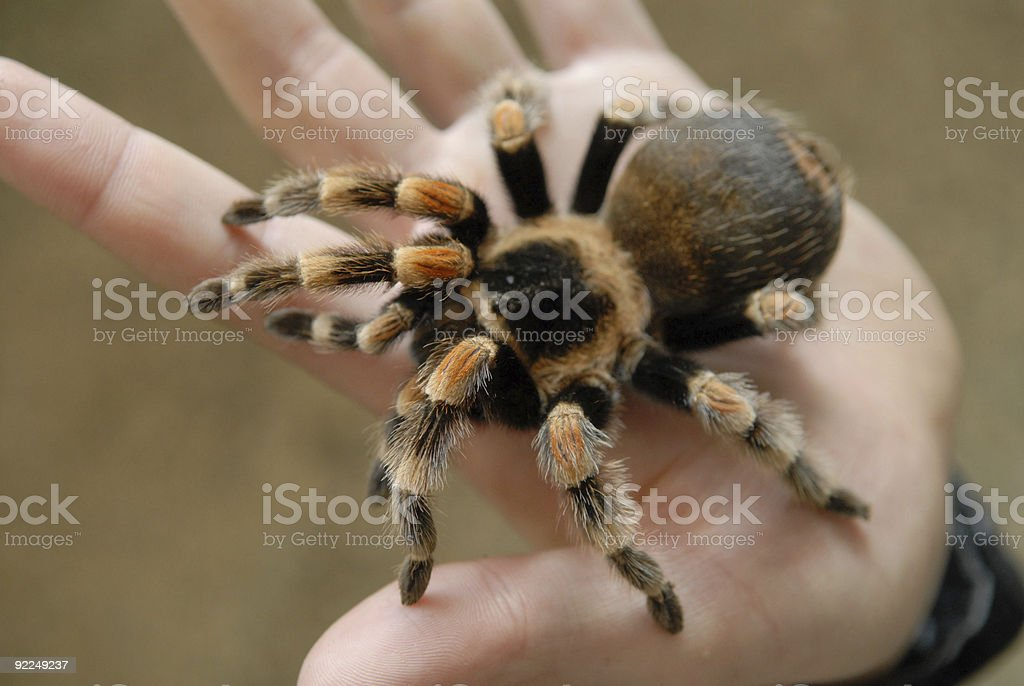 Spider on a palm stock photo