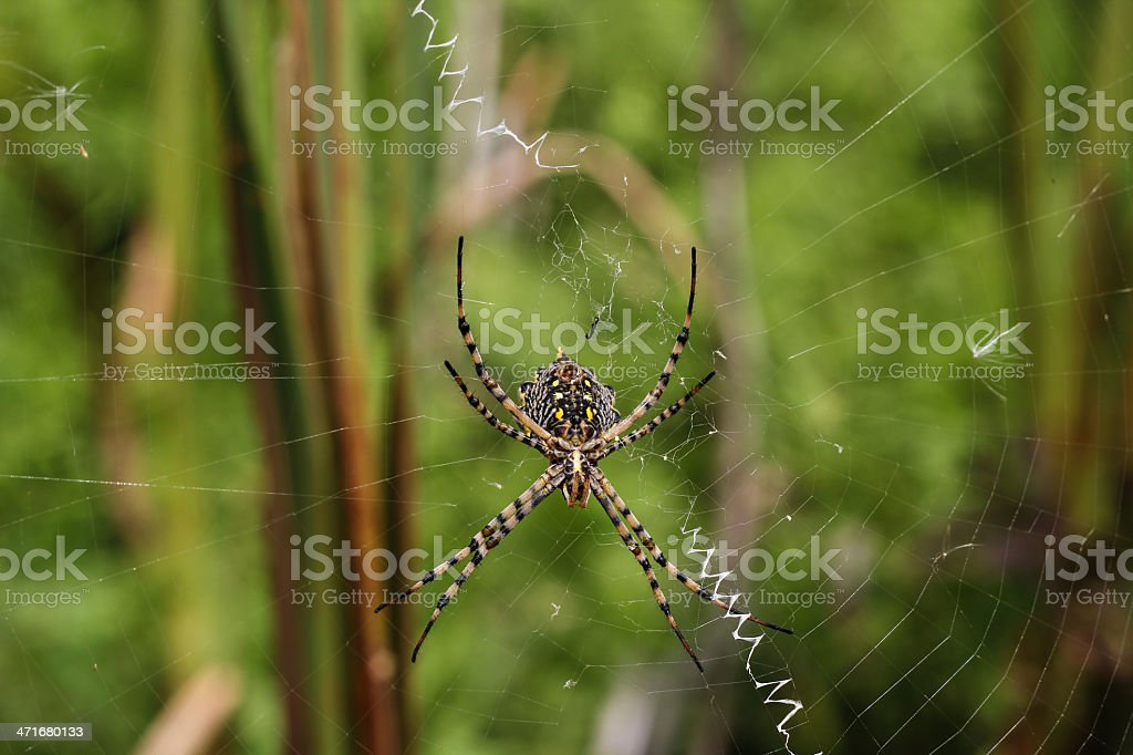 Spider on a spiderweb royalty-free stock photo