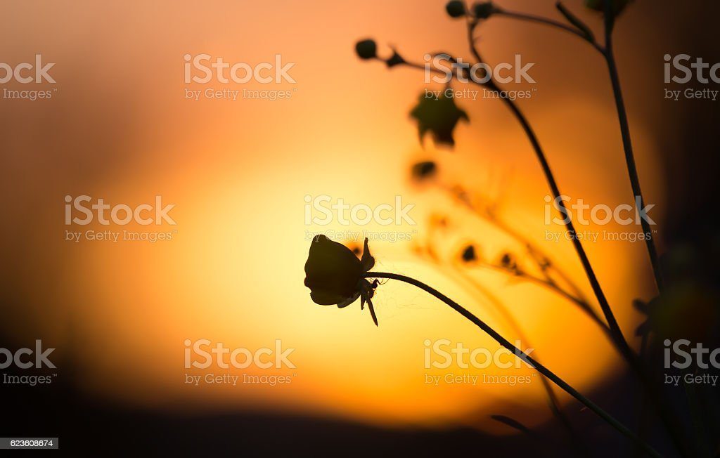 Spider on buttercup flower in sunset stock photo