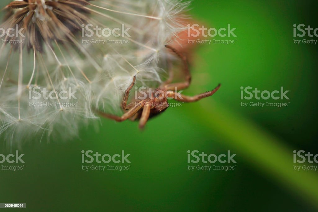 spider on dandelion stock photo