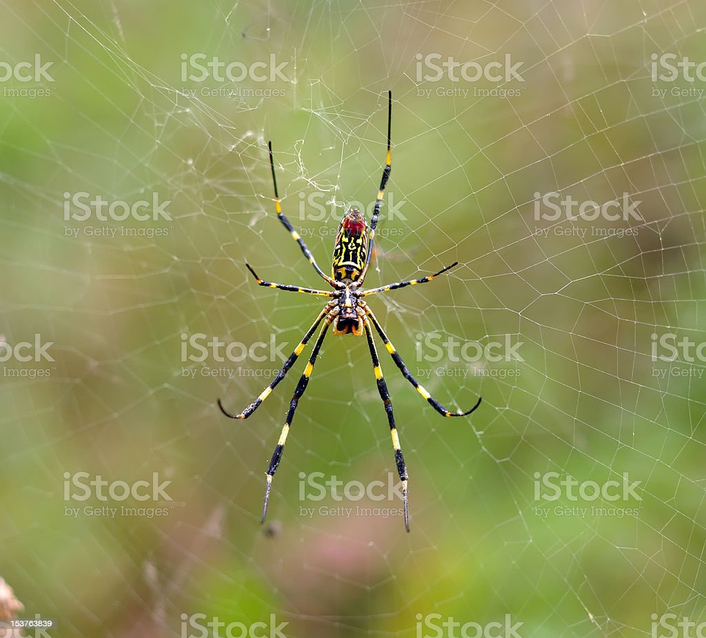 spider on her cobweb stock photo