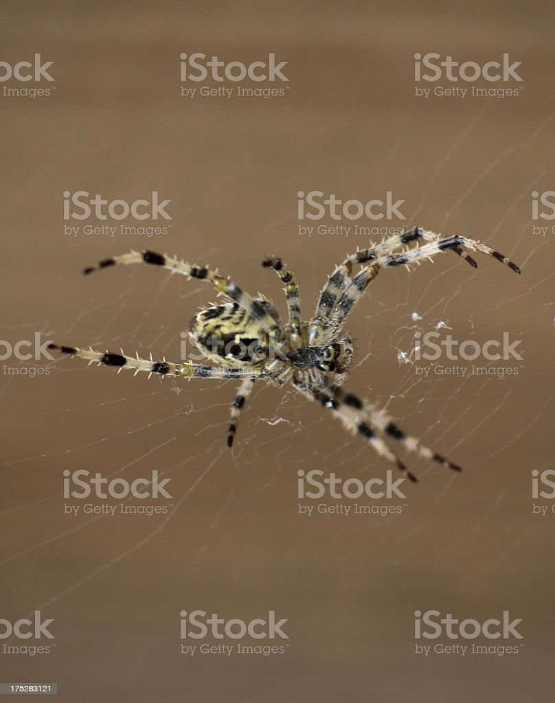 Spider on it's web royalty-free stock photo