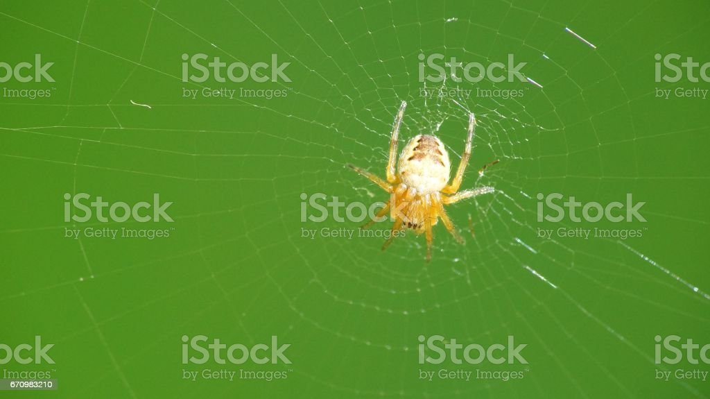 spider on spiderweb with green background stock photo