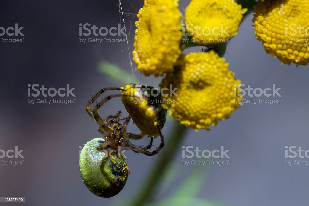 spider on tansy stock photo