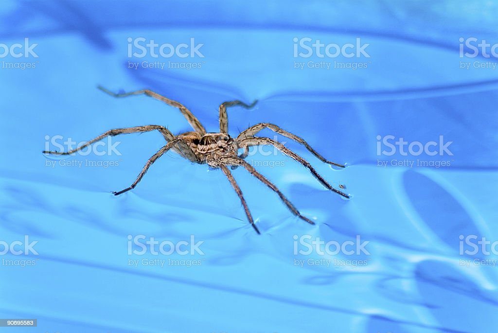 Spider on water royalty-free stock photo