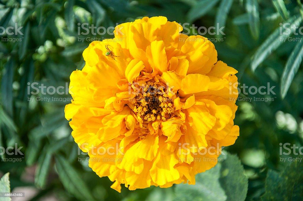 spider on yellow flower chrysanthemum stock photo