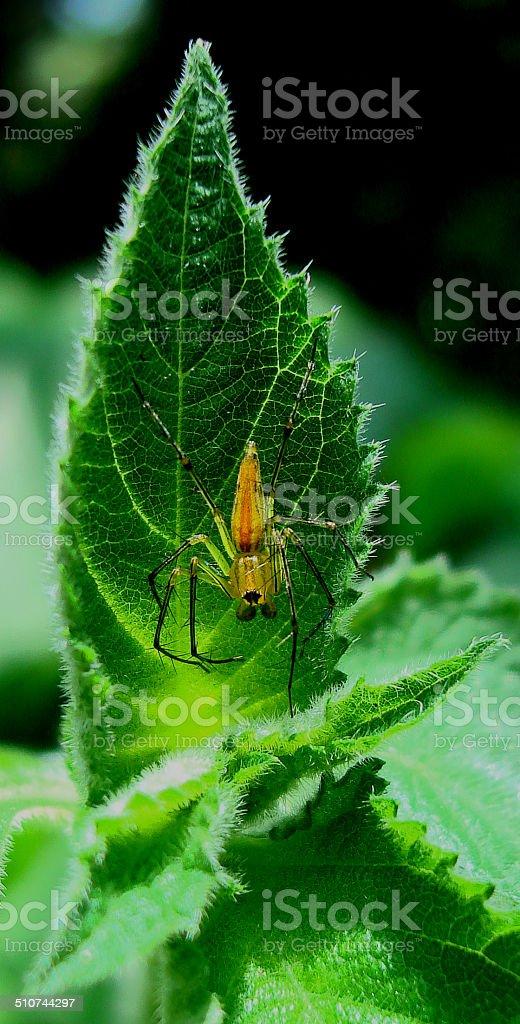 Araignée Oxyopes photo libre de droits