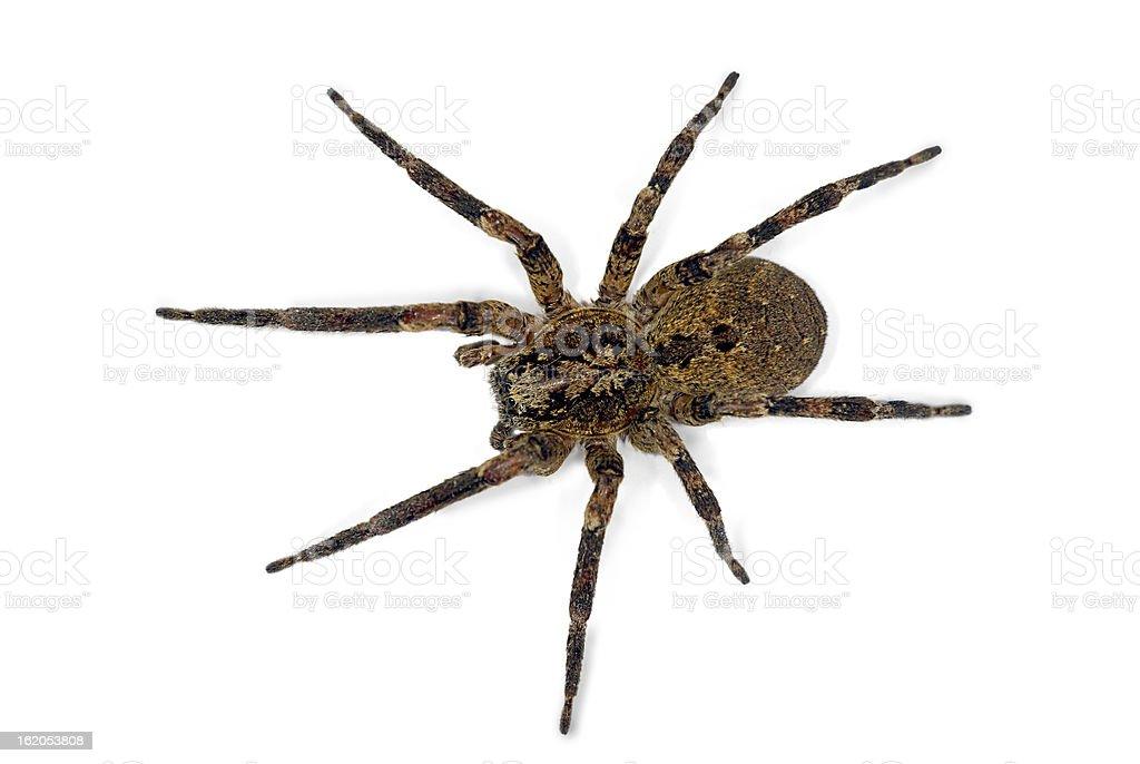Spider (Zoropsis spinimana) royalty-free stock photo