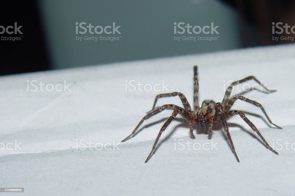 Spider royalty-free stock photo