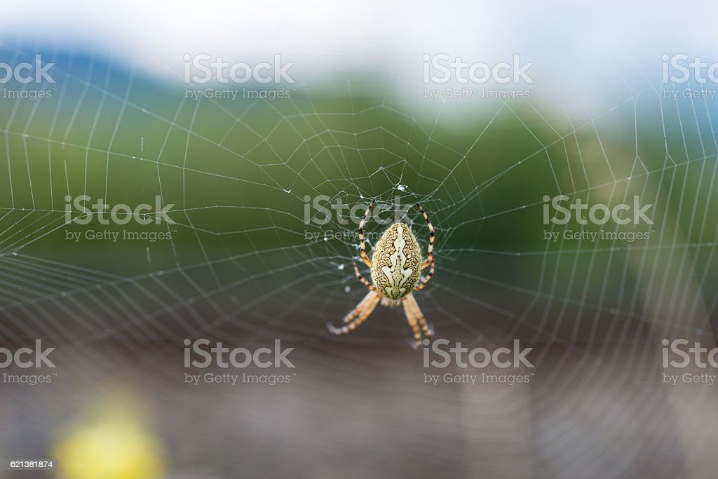 Spinne (Kreuzspinne) stock photo