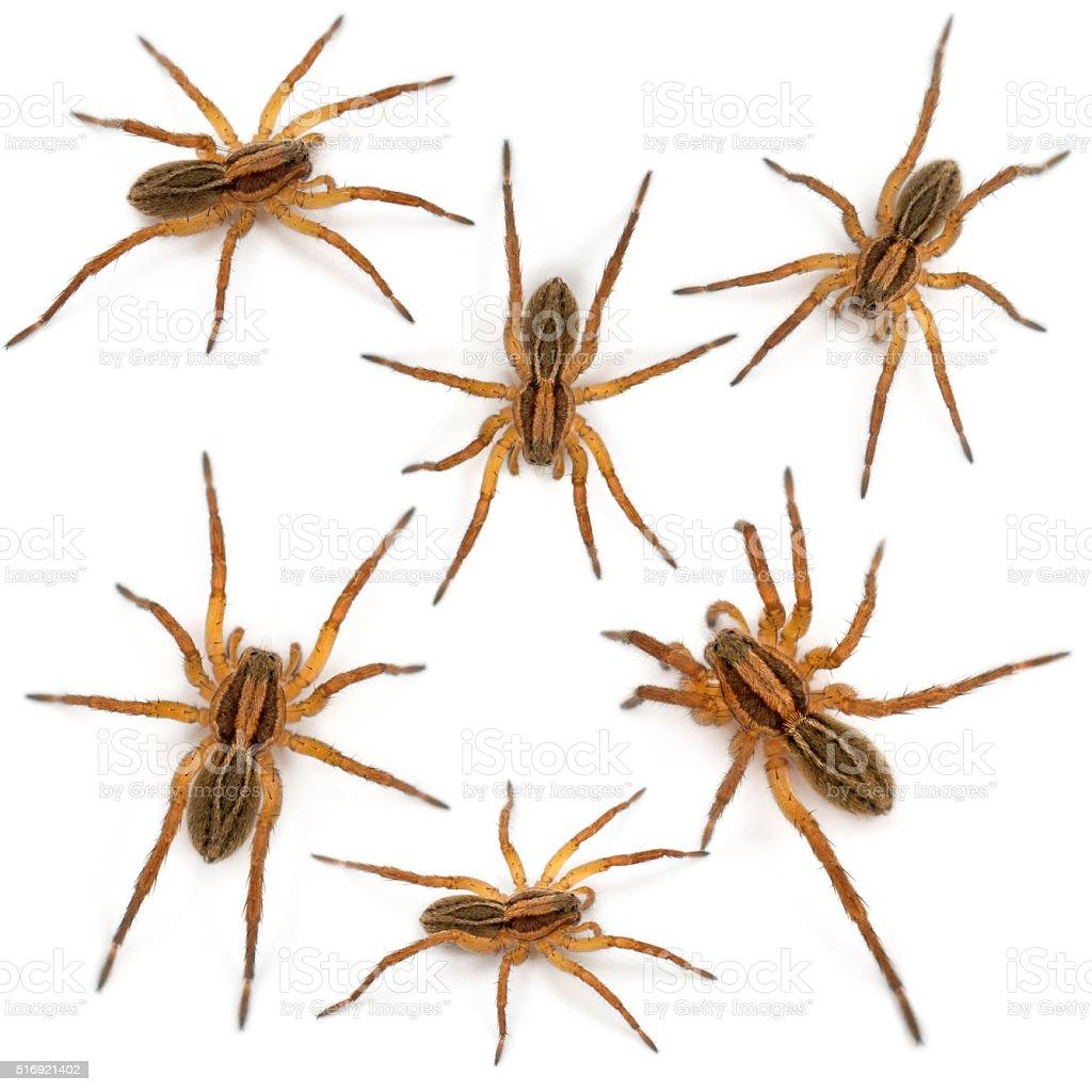 Spider, Pirata piraticus, in front of white background stock photo