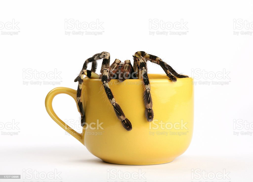 spider Poecilotheria regalis in cup stock photo