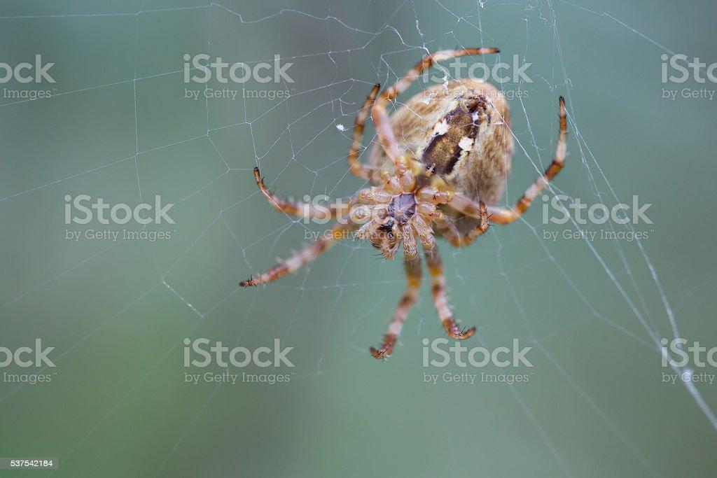 Spider sitting on a cobweb stock photo