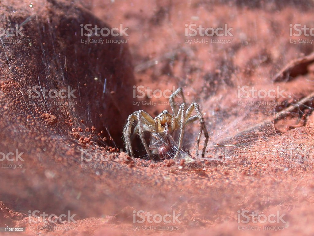 Spider Snack royalty-free stock photo