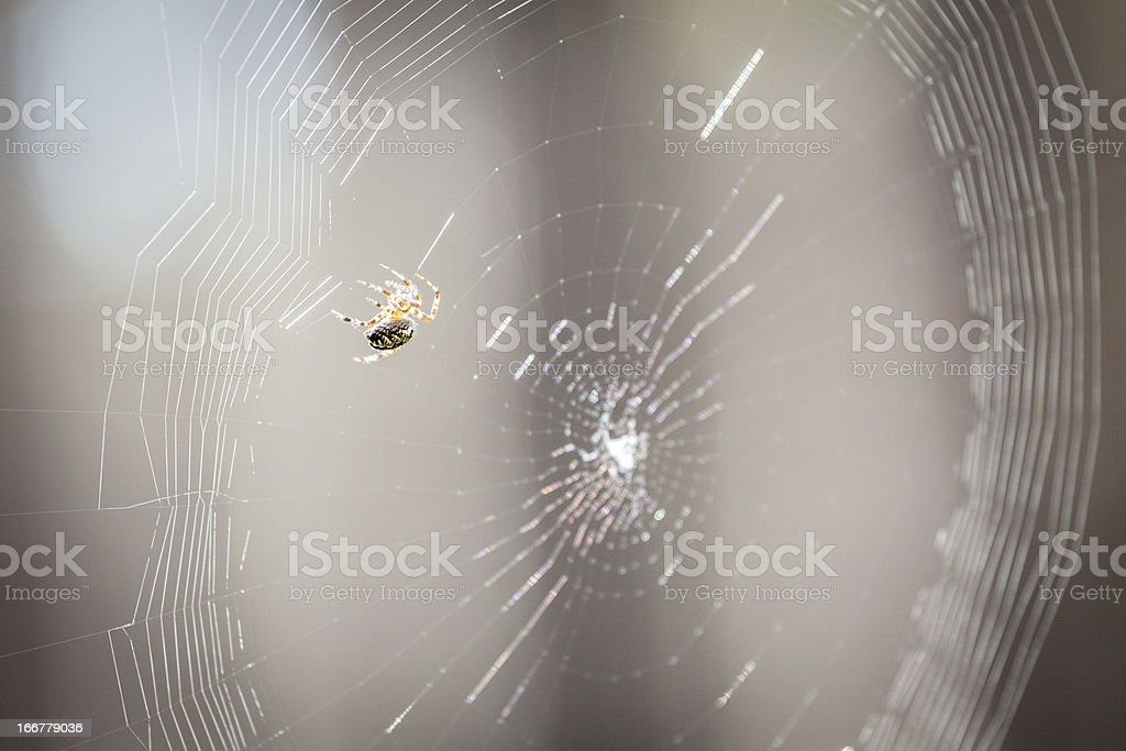 Spider spins its web royalty-free stock photo