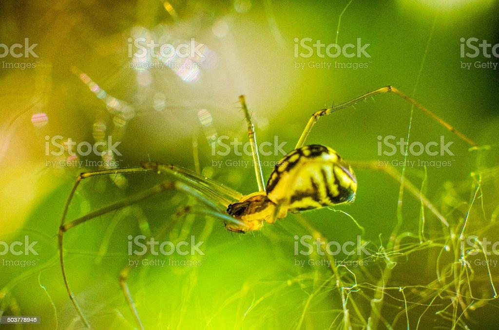 spider tiger yellow black dangerous aracnid bokeh stock photo