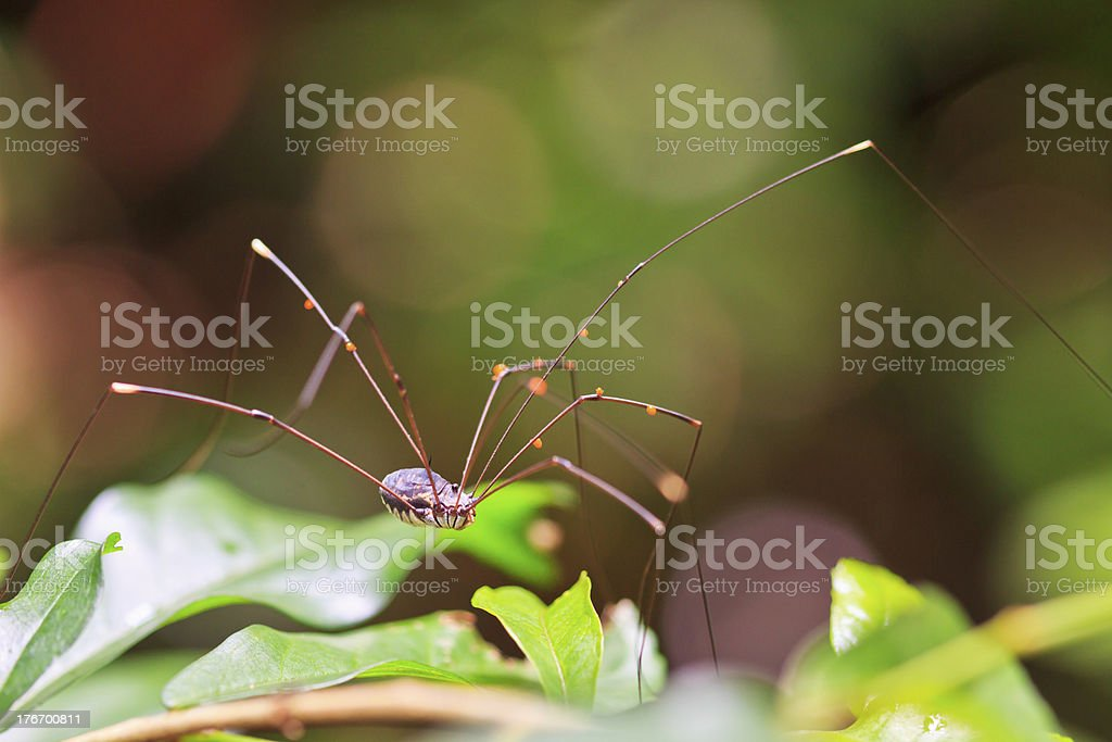 Spider tropical zone and rainforest asia thailand royalty-free stock photo