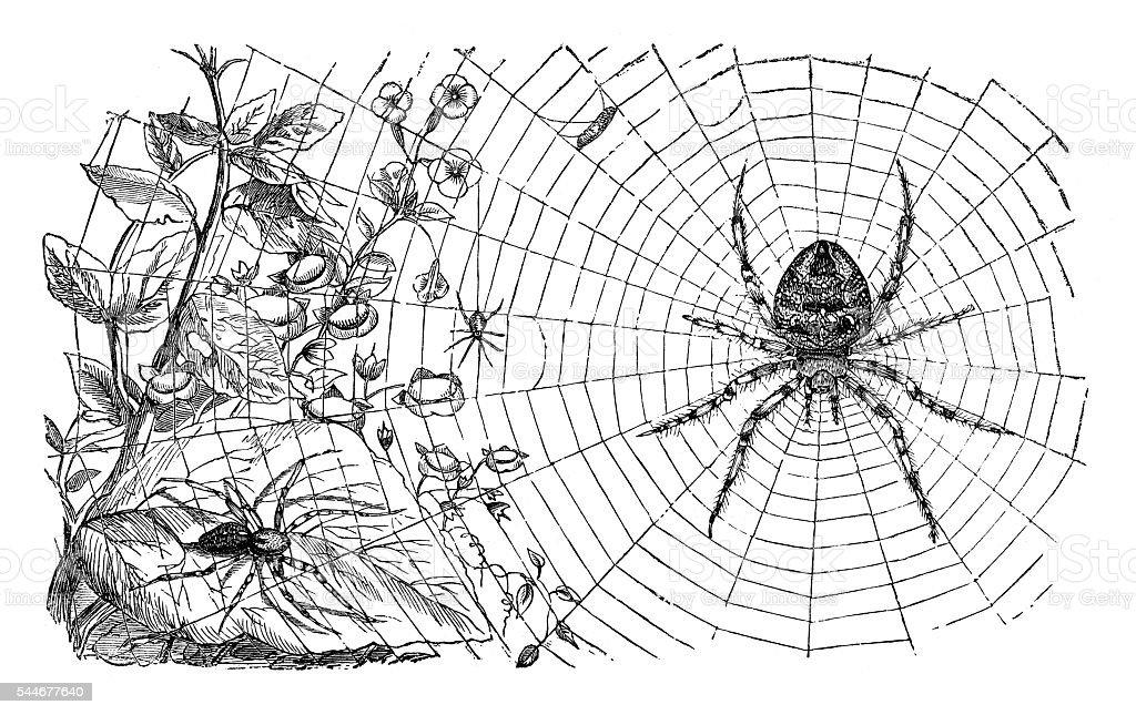 Spider weaving web illustration 1881 stock photo