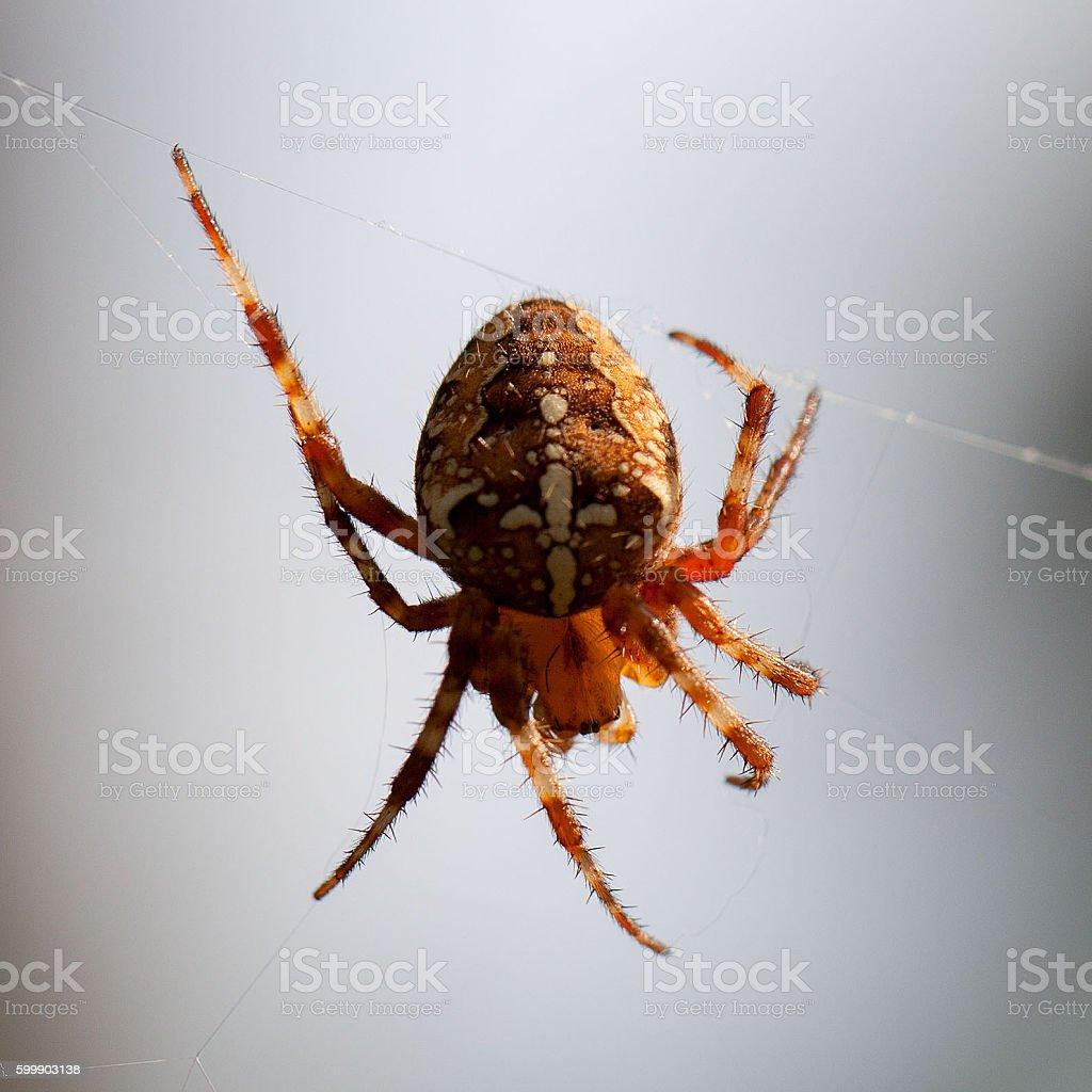 Spider weaving web stock photo