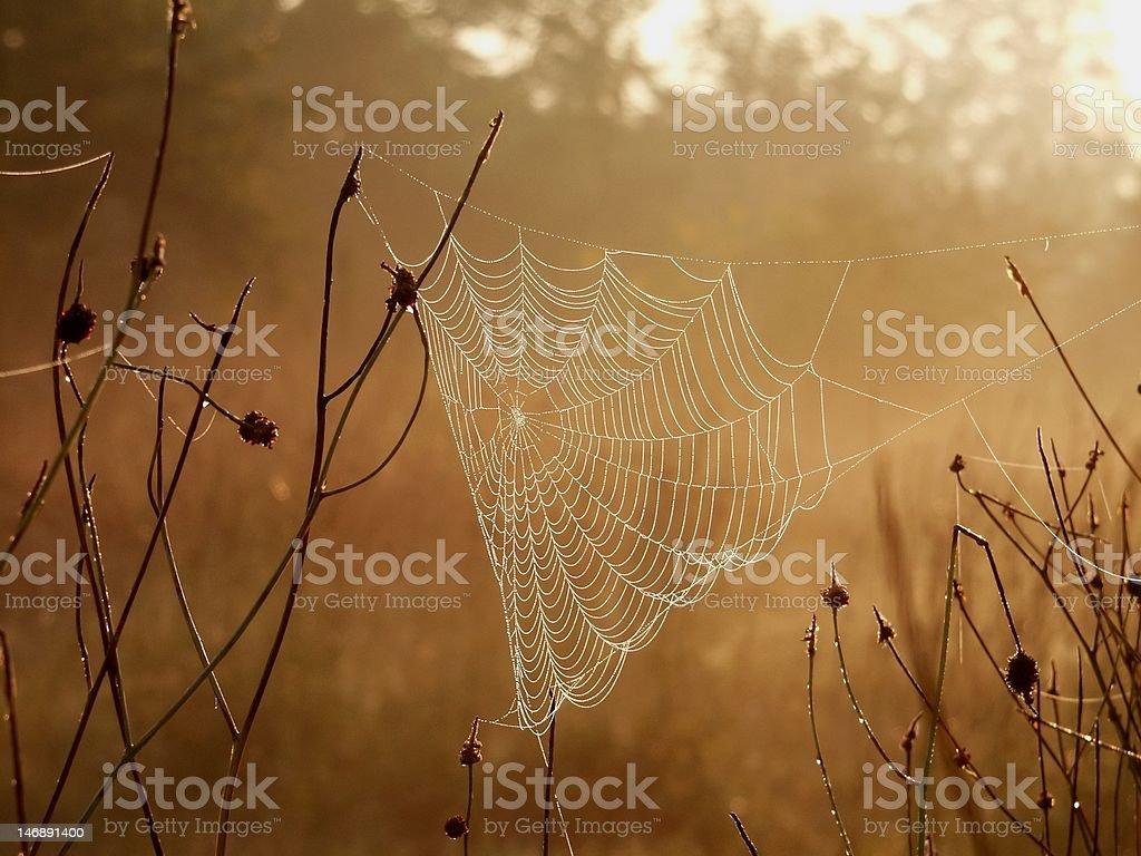 Spider web at dawn royalty-free stock photo