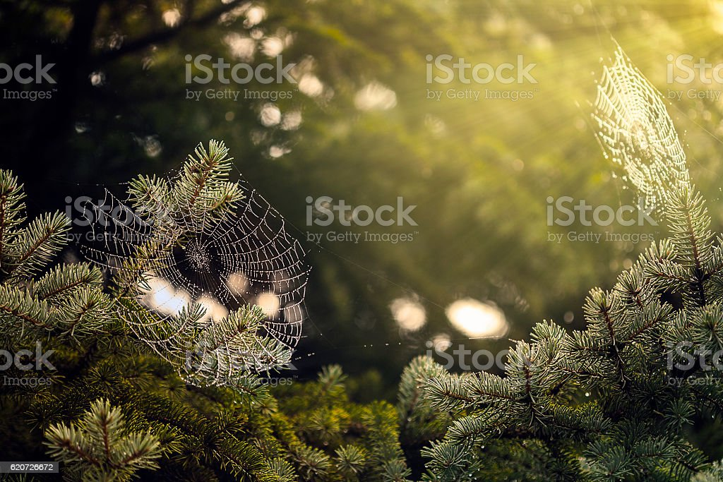 Spider web covered with dew stock photo