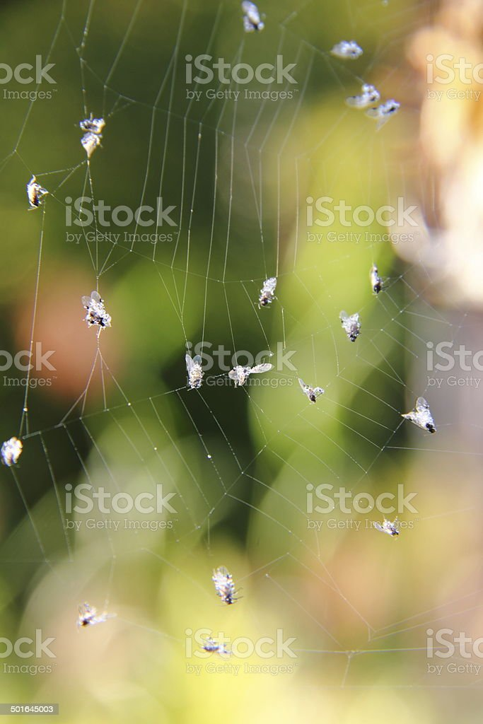 Spider web. Flies. stock photo