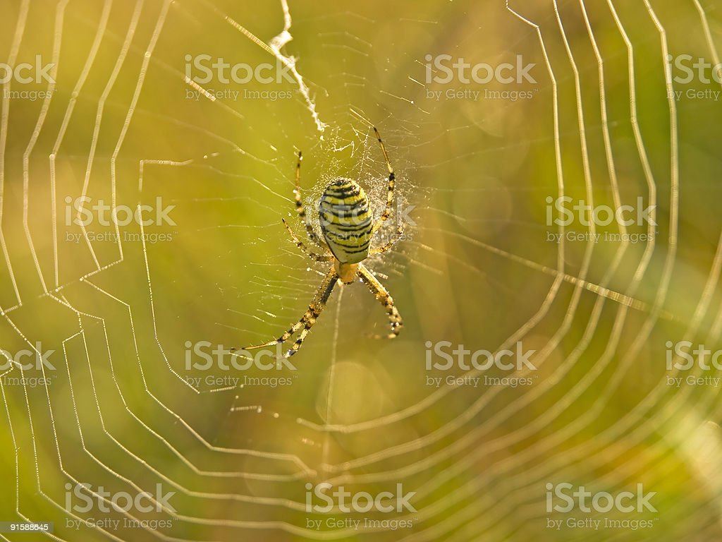 Spider web in morning dew royalty-free stock photo