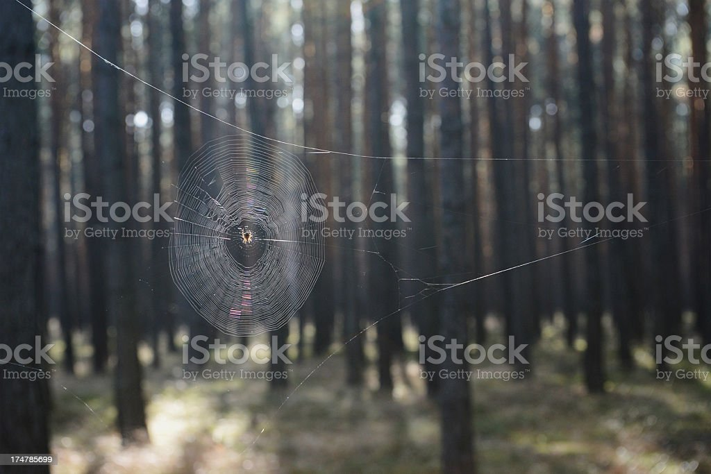 Spider web in the forest royalty-free stock photo