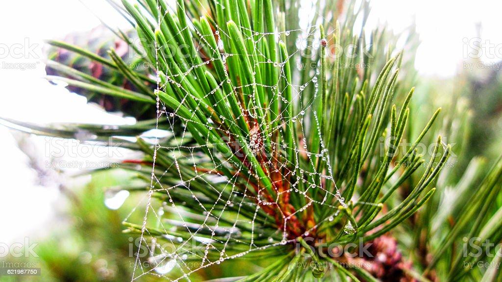 Spider web on branch of dwarf cedar tree, Kunashir, Russia stock photo