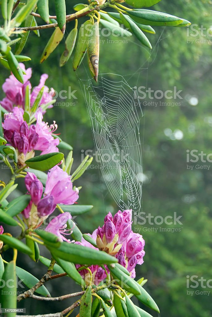 Spider Web on rhododendron plant royalty-free stock photo