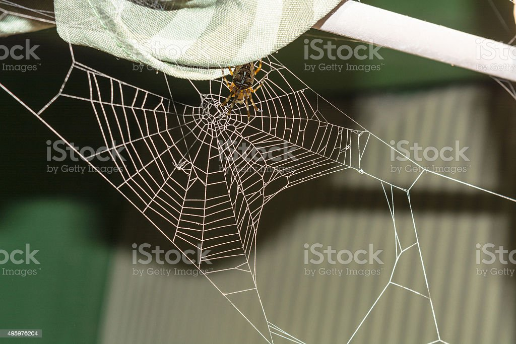 Spider web with cross spider stock photo