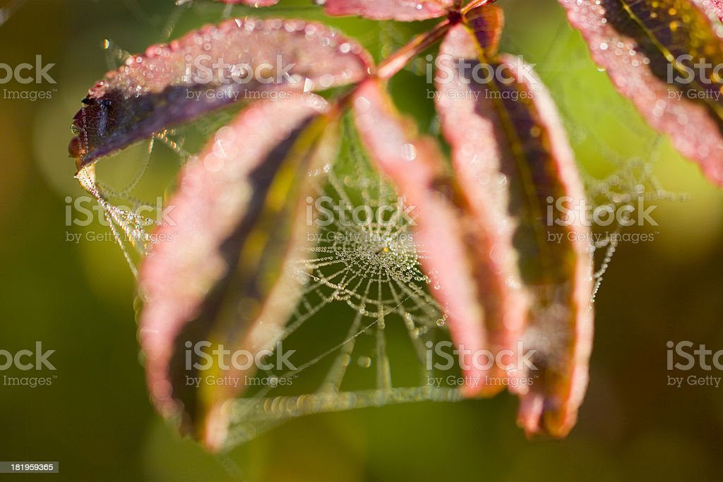 Spider web with morning dew stock photo