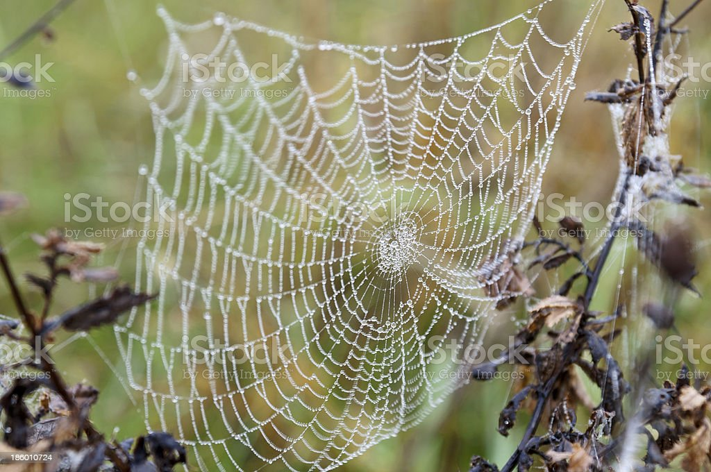 Spider web with water drops royalty-free stock photo
