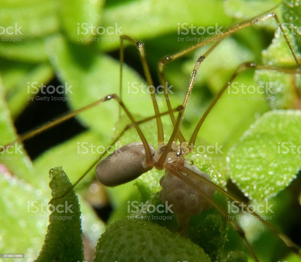 Spider with a bag of eggs hanging on his jaw royalty-free stock photo