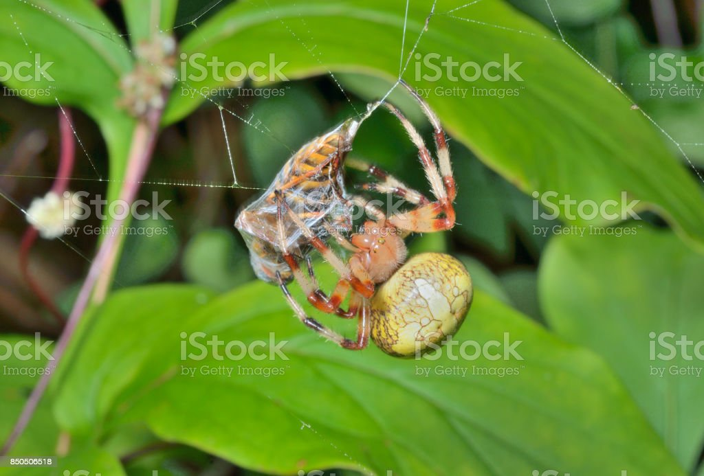 Spider with fly stock photo
