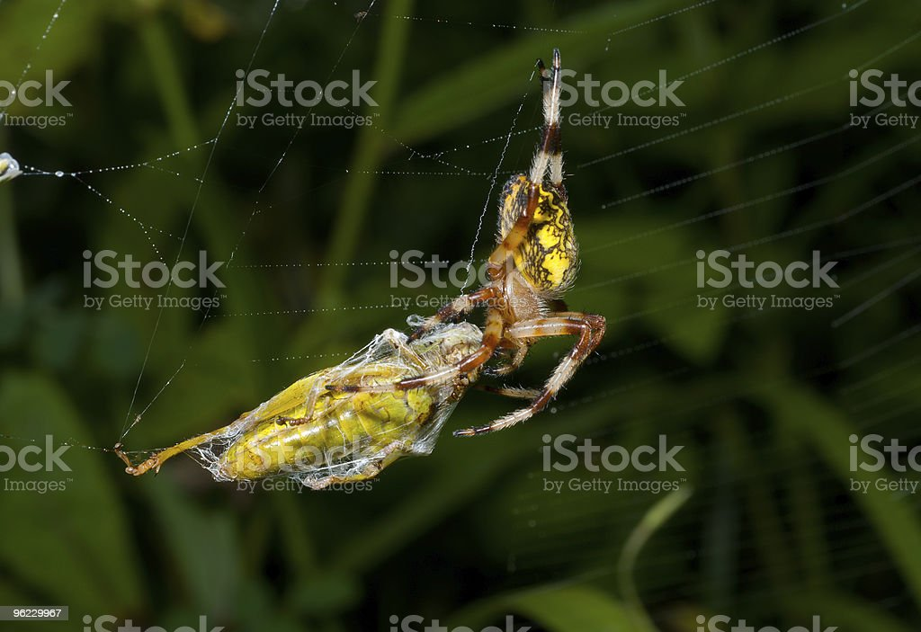 Spider with grasshopper royalty-free stock photo