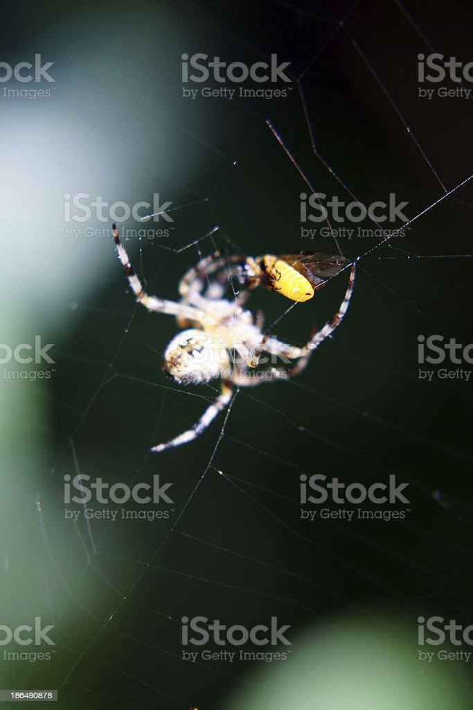 Spider with prey royalty-free stock photo