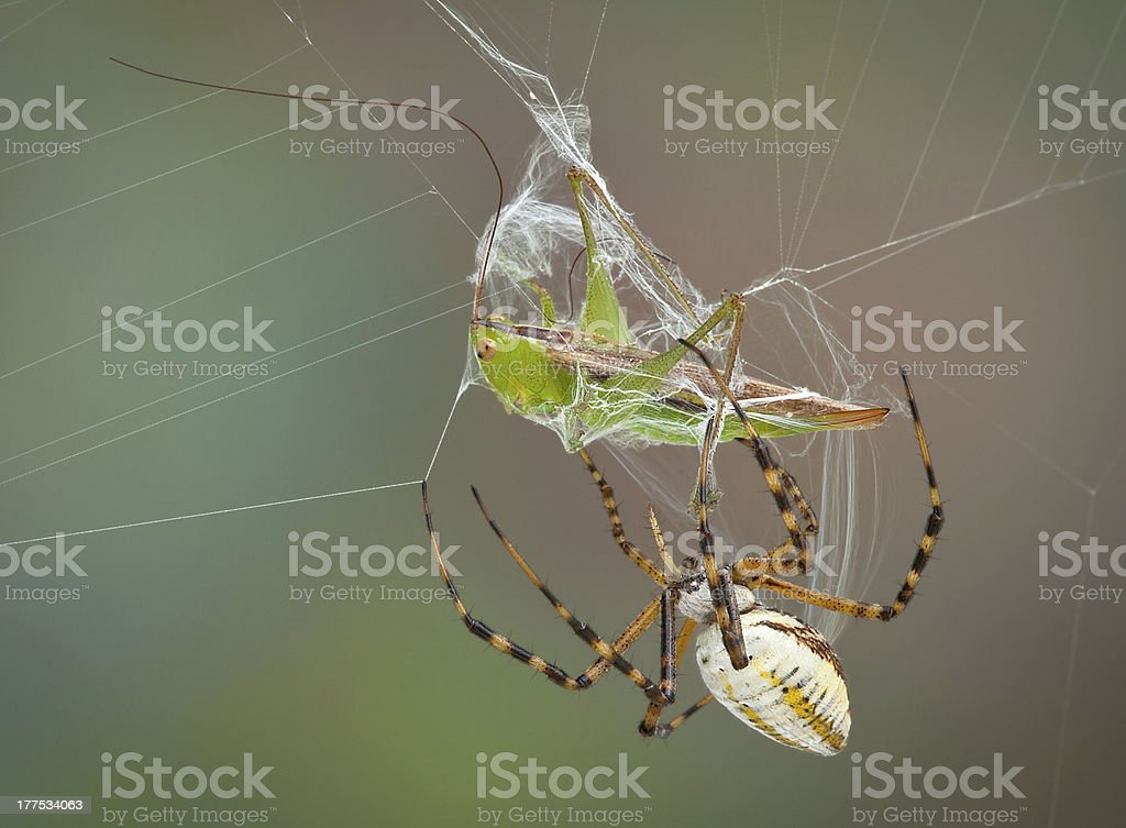 Spider wrapping hopper in web royalty-free stock photo