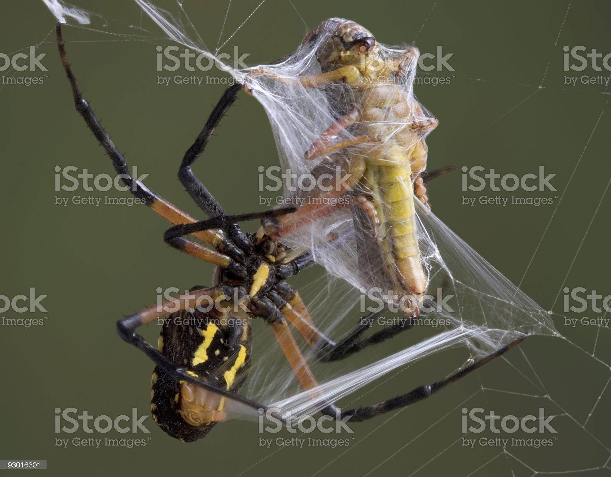 Spider wrapping hopper royalty-free stock photo