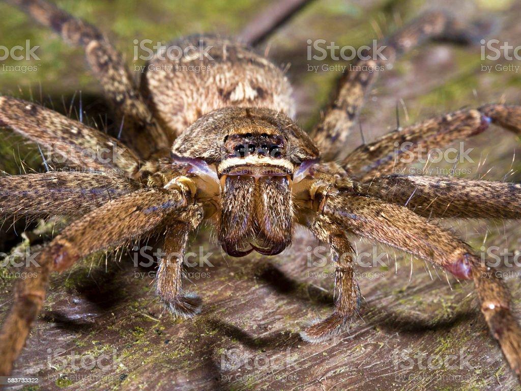 spider,Lycosidae stock photo