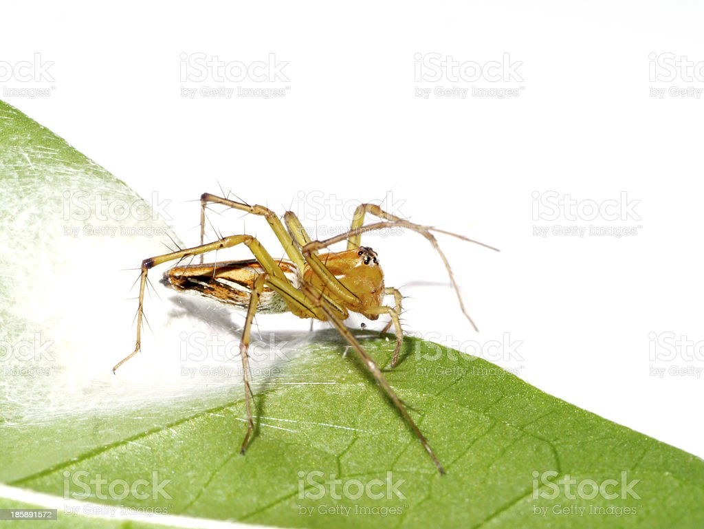 Spiders are laying eggs on the leaves. royalty-free stock photo