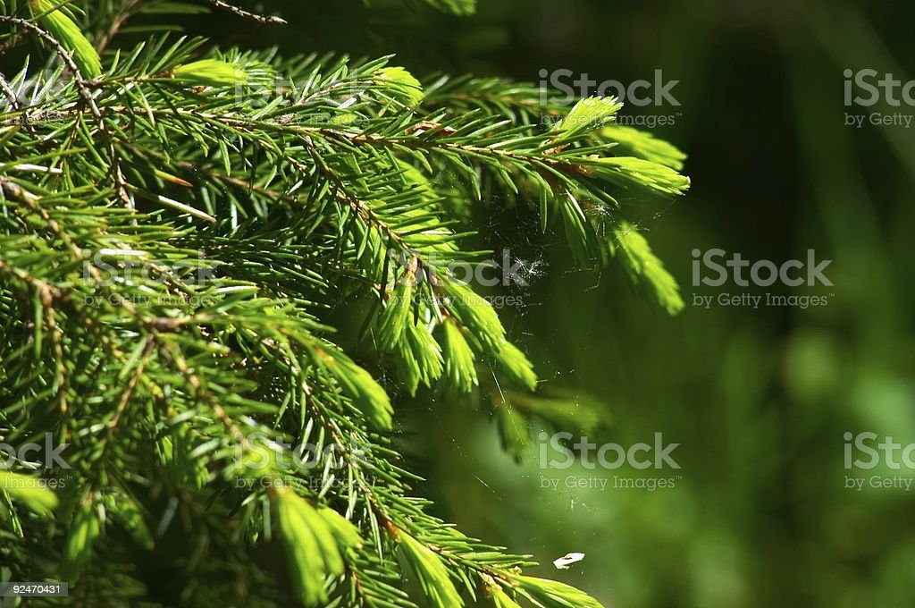 Spider's web on fir bough royalty-free stock photo