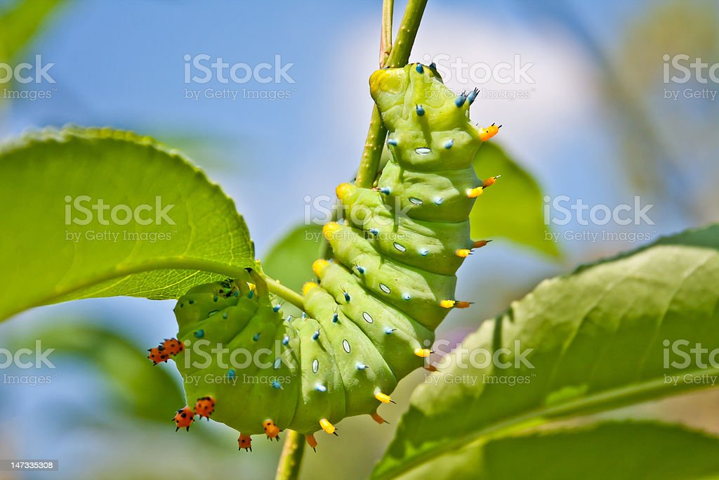 Spiked Caterpillar royalty-free stock photo